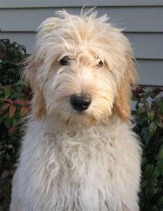 Best 25+ Goldendoodle haircuts