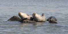 "Seals act our their ""banana"" pose off the coast of Staten Island."