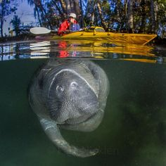 A kayaker respects the rules by giving a manatee space to roam in Three Sisters Springs Florida.  I too tried to follow the rules by keeping my distance but it is difficult when some of the regulars chased me down and demanded a belly scratch.  T With @sea_legacy and @cristinamittermeier.  #manatee #nature #gratitude  #MPA #10by2020 #wildlife #gratitude #explore #nature #smile #love #beauty #adventure #travel @natgeocreative @thephotosociety #instagood #tbt #follow #photooftheday #happy…