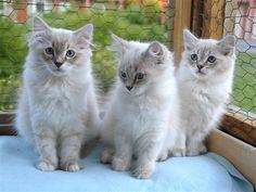 Neva Masquerade - Söderbykattens Sibiriska katter