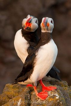 Atlantic Puffin (Fratercula arctica) Duo in the West Fjords, Iceland.they actually sounds a lot like chain-saws EM Pretty Birds, Love Birds, Beautiful Birds, Animals Beautiful, Animals And Pets, Cute Animals, Puffins Bird, Amor Animal, Tier Fotos