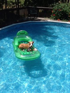 nothin' like a cold drink and floatin in the pool on a hot day Best Dogs For Families, Family Dogs, Search And Rescue Dogs, Bsl, Companion Dog, Pit Bull Love, Therapy Dogs, Cutest Animals, Pit Bulls
