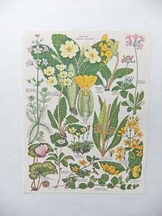 Botanical Drawings  vintage botanical