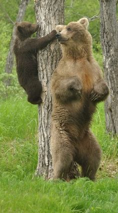 """""""Got your nose""""... Grizzly Mom and Cub share moments"""