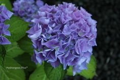 Choose from over 140 varieties of hydrangea plants.  Our site features full color photographs and detailed plant descriptions, as well as hints…