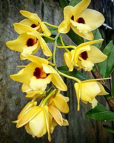 #Orchad#Dendrobium#2017