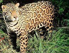 jaguar spots, 6% are all black