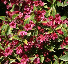 Weigela French Lace™ | Star® Roses and Plants