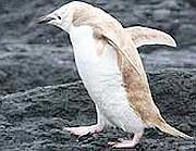 """Pinguino """"Biondo"""""""