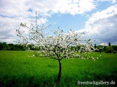 Baum der blüht - freestockgallery.de