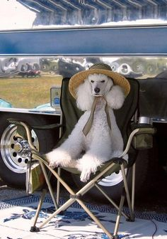 The Athletic Poodle Dog Grooming Animals And Pets, Funny Animals, Cute Animals, I Love Dogs, Cute Dogs, Poodle Cuts, Dog Grooming, Poodle Grooming, Goldendoodle Grooming