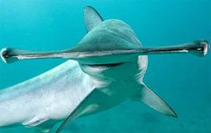 Smooth hammerhad Order: Carcharhiniformes Family: Sphyrnidae Genus: Sphyrna Species: S. Orcas, Shark Bait, Shark Fish, Fish Fish, Shark Photos, Ocean Pictures, Hammerhead Shark, Underwater Life, Megalodon
