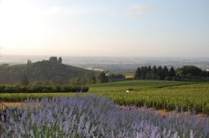 Dundee, OR view of the lavender and vineyards from The Black Walnut Inn