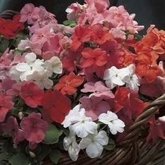 Pase Seeds - Impatiens Accent Series Sunrise Mix Annual Seeds, $3.99 (http://www.paseseeds.com/impatiens-accent-series-sunrise-mix-annual-seeds/)