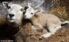 A mother gets acquainted with her newborn lamb at the Little Witch Farm in Wales.