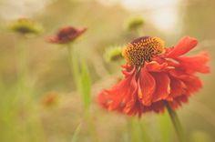 Helenium Moerheim beauty | GeaVisserPhotography.com #lensbaby #seeinanewway