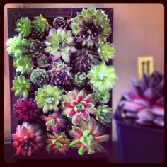 Succulent Frame Made With Sempervivums