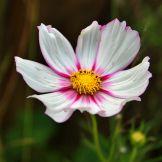 Artist: Engela Vermeulen   metal posters - Displate #Flowers #CosmosFlower #Nature #Floral #Garden #Displate #Pink #White #Yellow