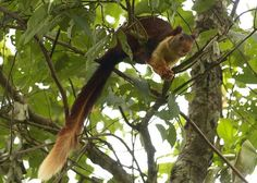 The Indian Giant Squirrel – Secret Supersize Squirrel on Steroids ~ The Ark In Space