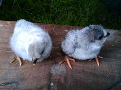 The cute fluffy kind of helpers, Lavender Araucana day old chicks ready to grow and eat all the garden pests and turn them into soft blue eggs.