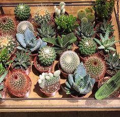 Onze hit! Kleine cactusjes.