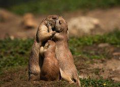 prairie dog love