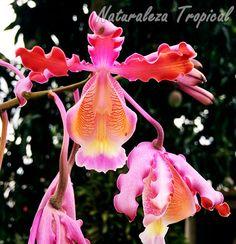 Mirmecophylla Las flores se producen en espigas que pueden alcanzar de 1 a 4 metros. Las flores son grandes y muy llamativas.  La especie más común es Mirmecophylla thompsoniana, que es conocida popularmente como orquídea rumbera por la forma plegada de los pétalos.