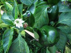 Plantar pimientos: El cultivo del pimiento en el huerto