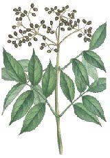 Elderberry - Used for its antioxidant activity, to lower cholesterol, improve vision, boost the immune system, improve heart health and for coughs, colds, flu, bacterial and viral infections and tonsillitis