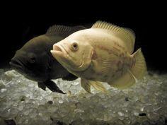CACINO . : ปลาออสการ์ Oscar (fish)