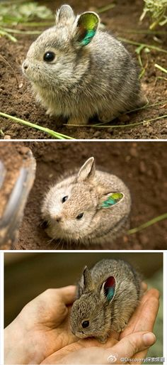 Farewell pygmy rabbit :-(. Originating in the Pacific Northwest Columbia Basin, Brachylagus idahoensis have been declared extinct in the 1990's.