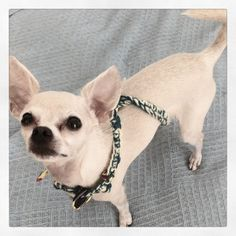 chihuahua wearing my #crochet necklace