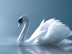 Swans are birds of the family Anatidae within the genus Cygnus. The swans' close relatives include the geese and ducks. Swans are grouped with the closely related geese in the subfamily Anserinae where they form the tribe Cygnini.