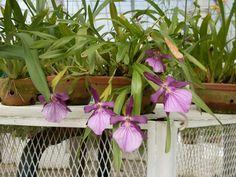 Procedimento para recuperar uma orquídea desidratada, ou uma traseira que apresente boas gemas.   Passo a passo  Retire a planta ...