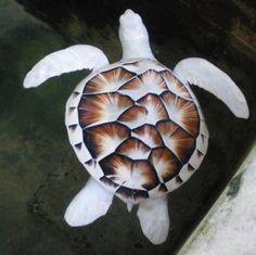 A rare albino green sea turtle (Chelonia mydas).