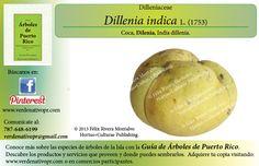 Descubre el árbol de Dillenia... con la Guía de Árboles de Puerto Rico www.verdenativopr.com