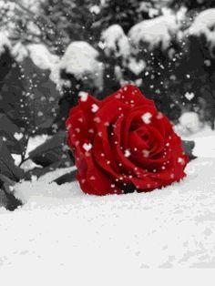 winter_rose.gif_480_480_0_64000_0_1_0.gif (240×320)