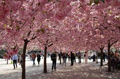 Yoshino Cherry Trees in 'The Cherry Blossom Capital Of The World' Macon, Georgia