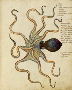 Octopus watercolor by Ulisse Aldrovandi, 16th century Bolognese naturalist.