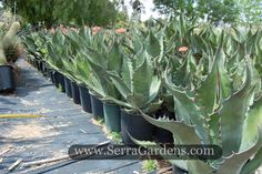 Agave salmiana, commonly called Maguey de Pulque or Giant Agave, is a very dramatic large landscape or specimen plant. It is well suited for xeriscape, large rock gardens, succulent and cactus gardens, barrier plantings. With its urn shape , it's a striking large container plant. #SerraGardens_agaves #agave_salmiana #Giant_agave
