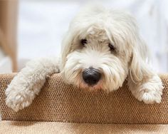 A Spoodle just like mine.. pinned by myoodle.com   Cockerpoo, Cockapoo, MyOodle, My Oodle, Oodle, Doodle, Dog, Poodle, Poodle Mix, Poodle Hybrid