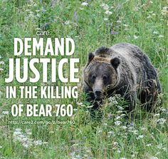 WTH Wyoming?!?! Your wildlife 'management' agency is supposed to protect endangered species, not kill them! Sign the petition to demand justice for this non-aggressive grizzly: http://care2.com/go/z/bear760  bears grizzlies bear760