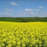 Significant improvements in rapeseed oil quality have come a step closer as a result of HGCA-supported research.