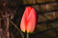 No vielä yksi tulppaani | Vesan viherpiperryskuvat – puutarha kukkii