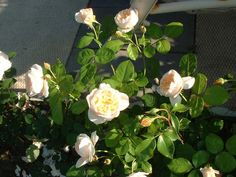 Mary Webb, a reproduction rose. In person looks whitish.