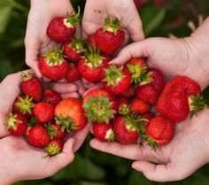 Local strawberry fields for picking