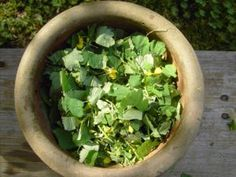 Greater Celandine, has a long history of use in many European countries. Ancient Greeks, Pliny the Elder and Dioscorides all called celandine an effective Gallbladder Cleanse, Pliny The Elder, Digestion Process, Cancer, Ulcerative Colitis, Microorganisms, Liver Disease, Traditional Chinese Medicine, Greece