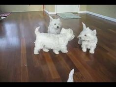 A Westie Christmas - Is there any wonder why I love Westies?  They've got to be the cutest dogs ever!