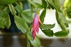 Vánoční kaktus zná asi každý. Odborně se nazývá Schlumbergera, nemá ostny, nesnáší slunce a miluje vodu. Řekli byste vůbec, že je to kaktus? Tato nádherná rostlina má brazilské kořeny a oheň v květech. Delší převislé listy s mírně pichlavými okraji a nádhernými květy hvězdicovitých tvarů jsou do našich podmínek přímo ideální. Proč je potom neumíme … House Plants, Home And Garden, Vegetables, Cactus, Foliage Plants, Vegetable Recipes, Houseplants, Veggies, Potted Plants