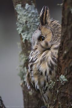 Long-eared Owl by linneaphoto